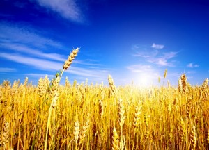 golden-wheat-field